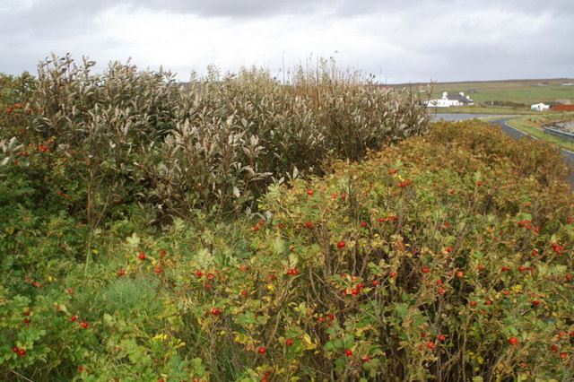 Bushes beside Wester Loch, Uyeasound