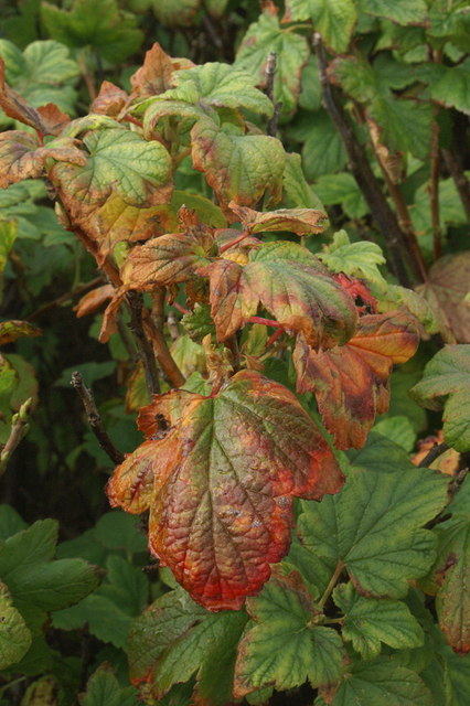 Autumnal leaves of Flowering Currant (Ribes sp.), Uyeasound