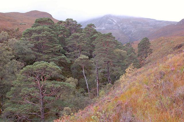 Mature pines, Allt a' Chuirn