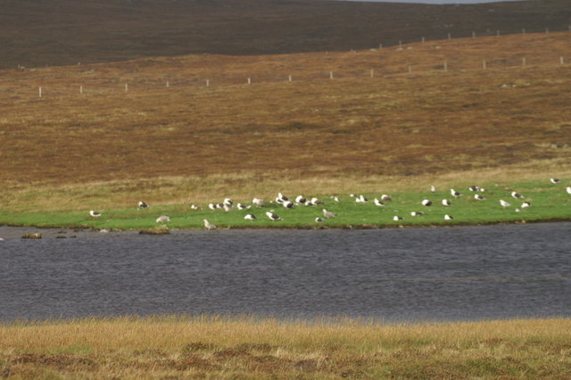 Gull roost, Dam Loch, Uyeasound
