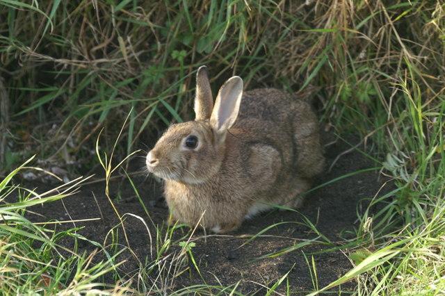 Rabbit (Oryctolagus cuniculus), Skaw