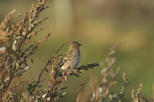 Common Rosefinch (Carpodacus erythrinus), Skaw