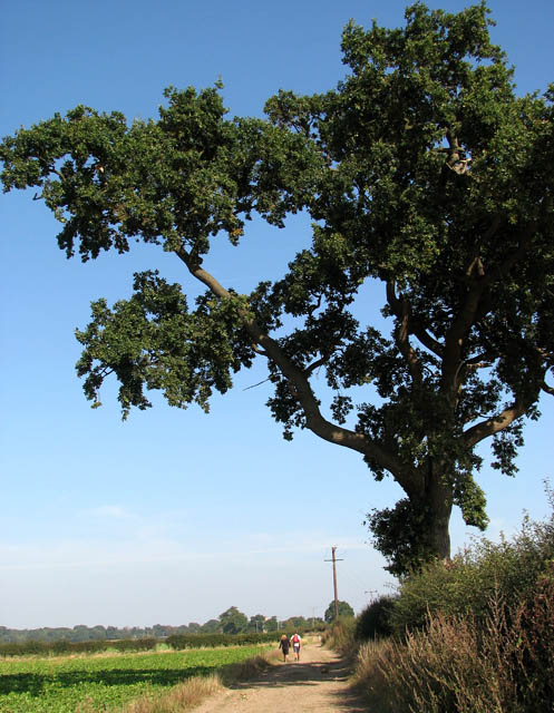 Ancient oak tree beside the Angles Way