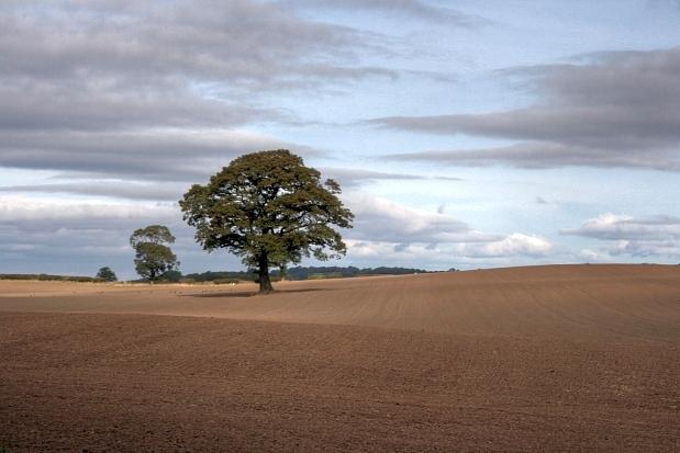 Tree in Field, Near Easby