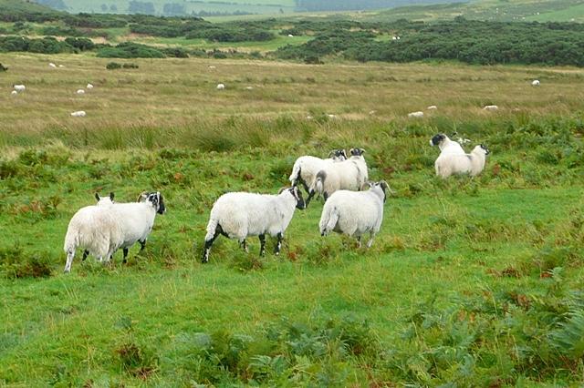 Sheep below Old Fawdon Hill