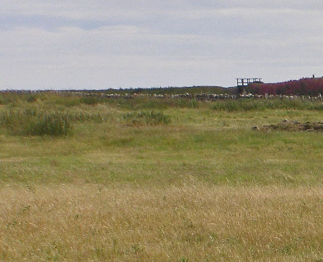 Rough meadow west of Lindisfarne Castle