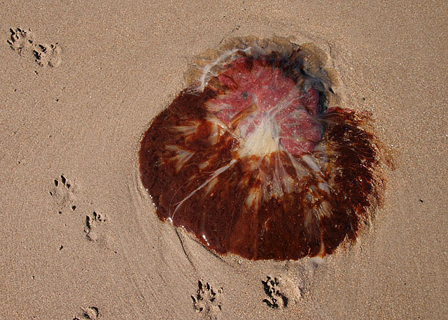 A jellyfish on Cheswick Sands