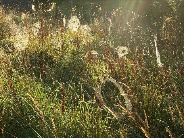 Spiders' webs near Aveton Gifford