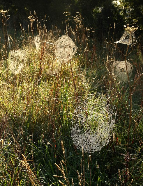 Spiders' webs near Aveton Gifford (2)