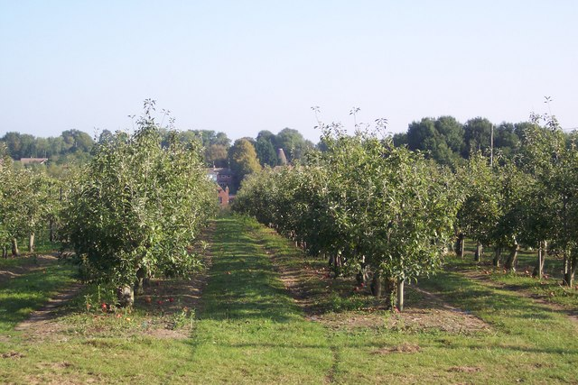 Orchard near Horsmonden