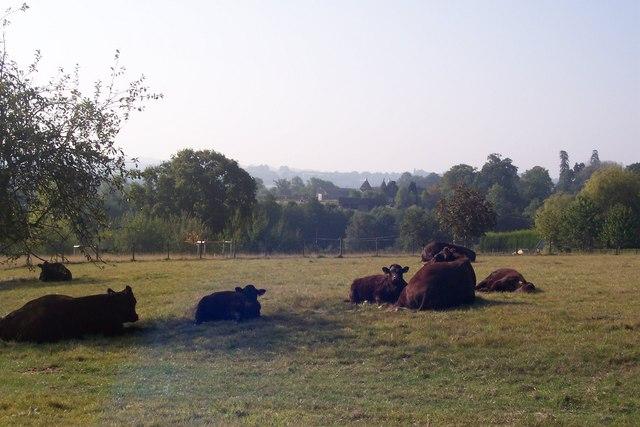 Sleeping cows