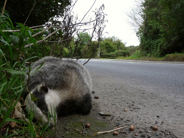 One dead badger on A361 just north of Knowle