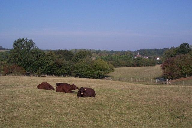 Sleeping Cows near Trottenden Farm