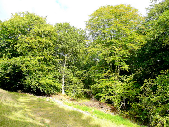 Beeches of the Forest of Dean