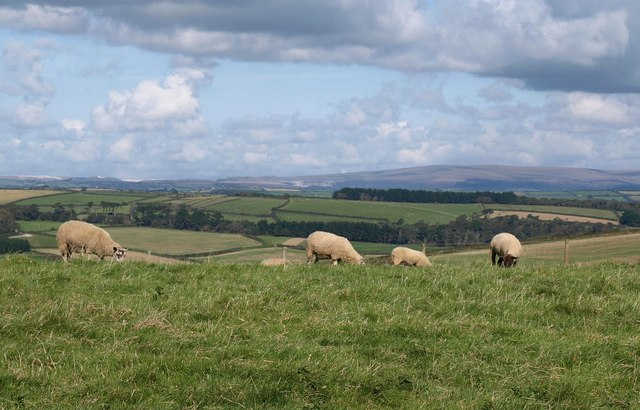 Sheep on The Beacon