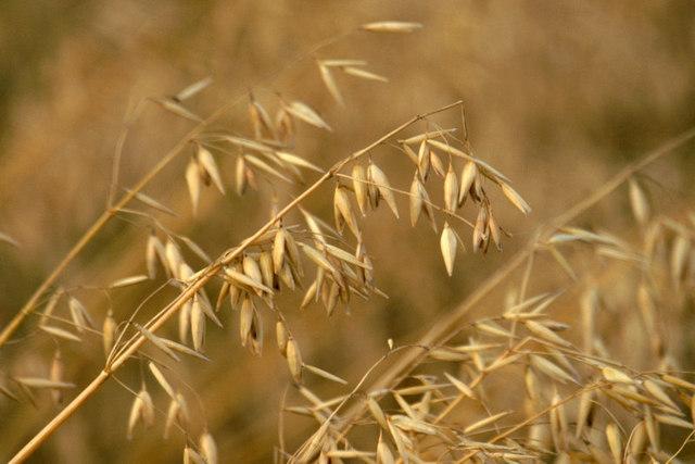 Shetland oats, Norwick