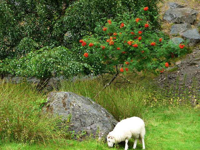 Sheep and Rowan