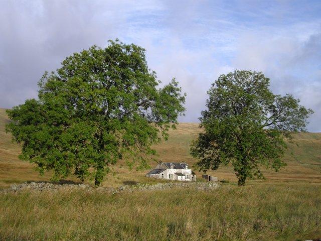 Ash trees, Daerhead