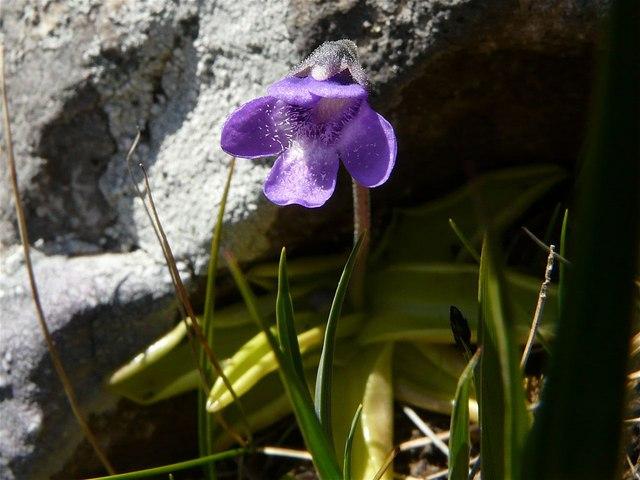 Butterwort, Inchnadamph
