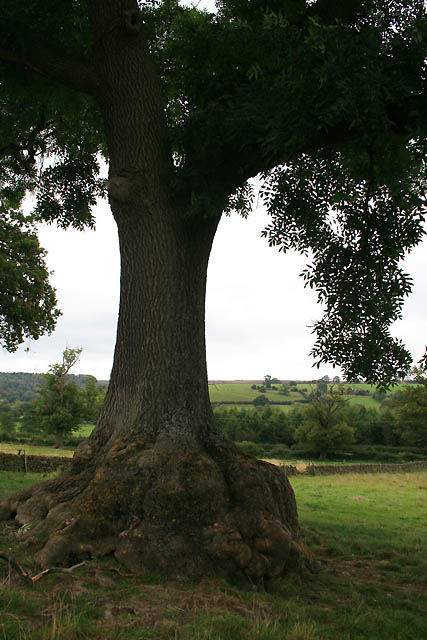 Ash Tree with Swollen Base