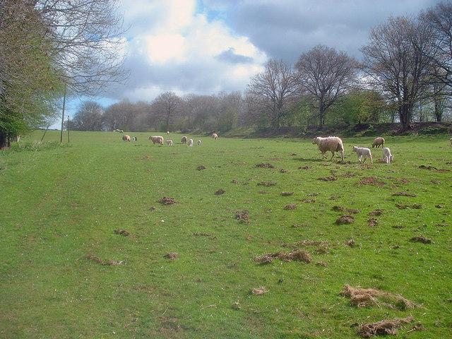 Sheep pasture near Lower Bilfield Farm