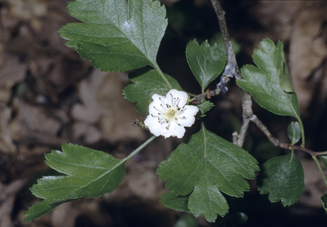 Woodland (or Midland) Hawthorn at Thorndon Park