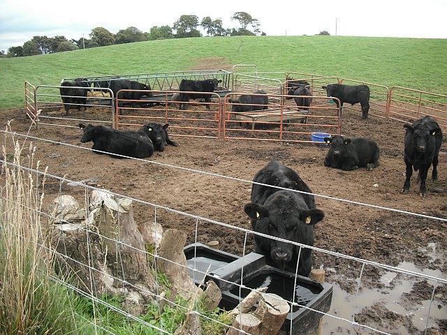 Cattle, Kinnaber