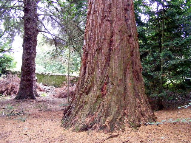 An American Redwood Tree at Kilravock Castle