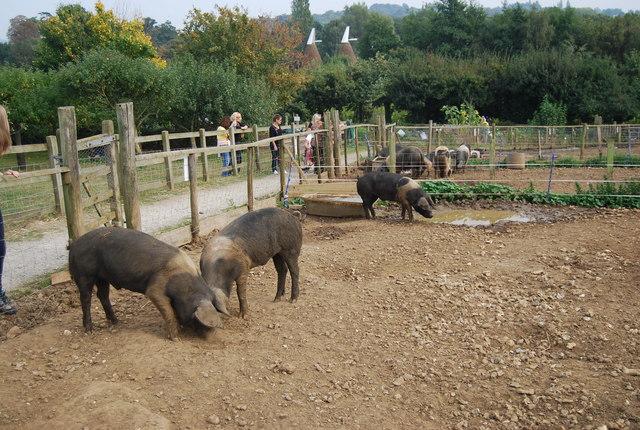 Museum of Kent Life - pigs