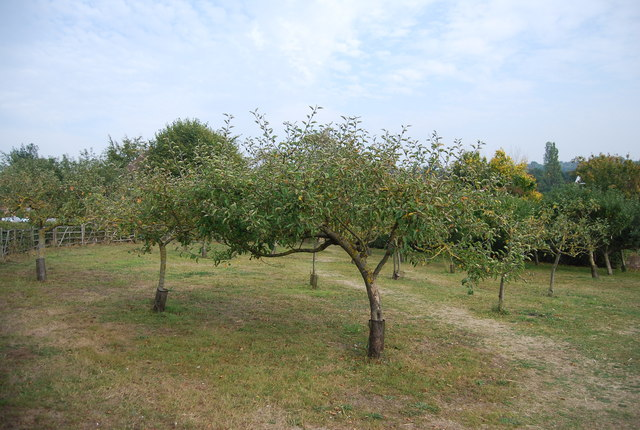 Museum of Kent Life - apple orchard
