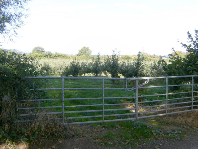 A Bulmers Apple Orchard