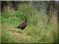 H5188 : Pheasant, Meenadoo Road by Kenneth  Allen