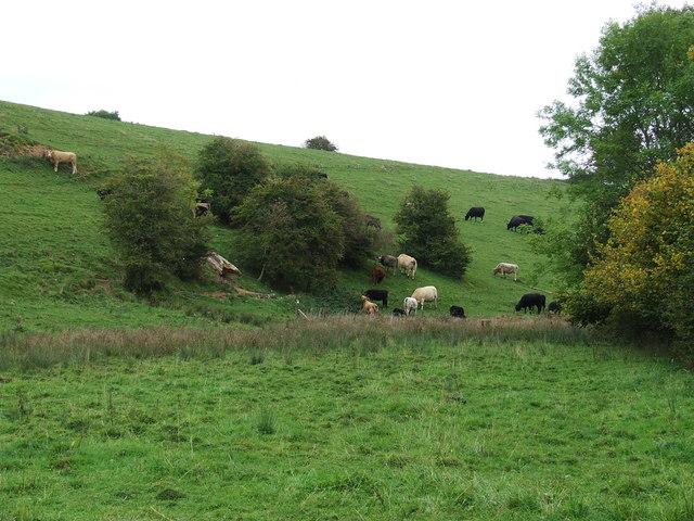 Bullocks in coldwell bottom
