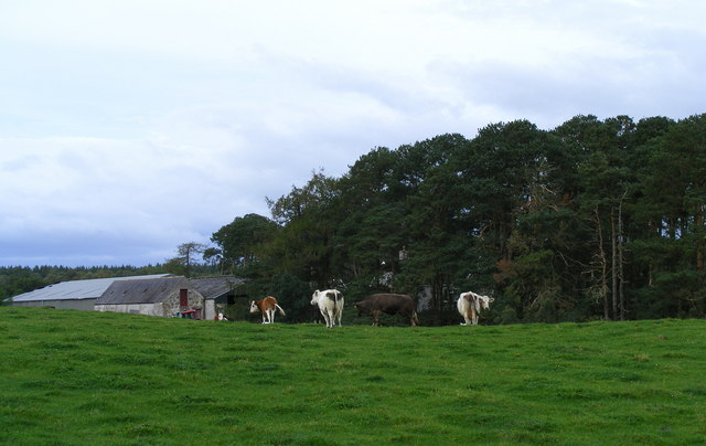 Cattle at Tomloan