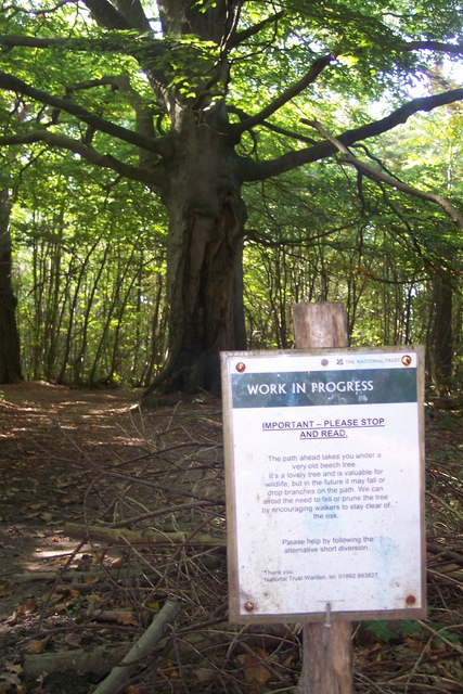 Ancient Beech Tree in Kilndown Wood