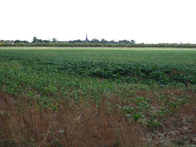 Sugar beet field north of Leverington