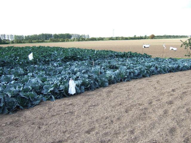 Cabbages on Roman bank near Newton