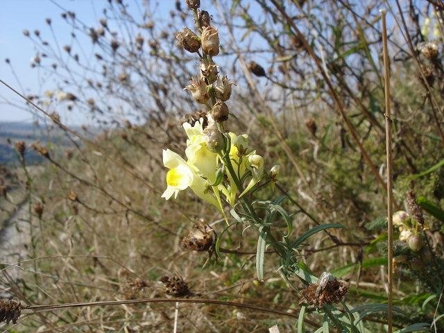 Common Toadflax - Linaria vulgaris