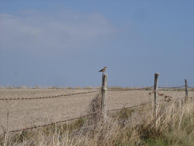 Wheatear on a fence-post