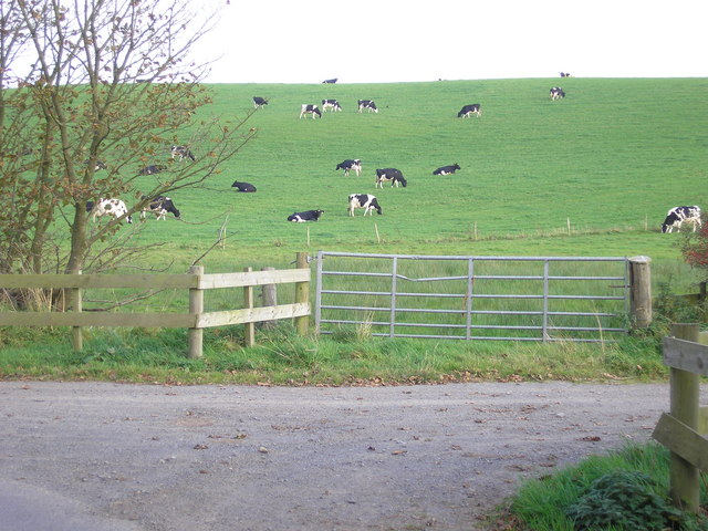 Cattle grazing on Corse Hill