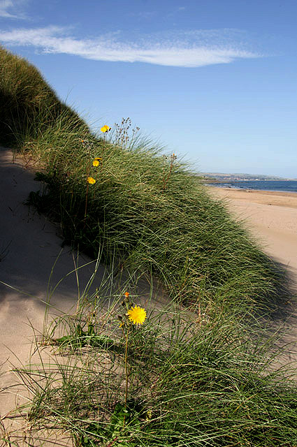 Marram grass at Cheswick Sands