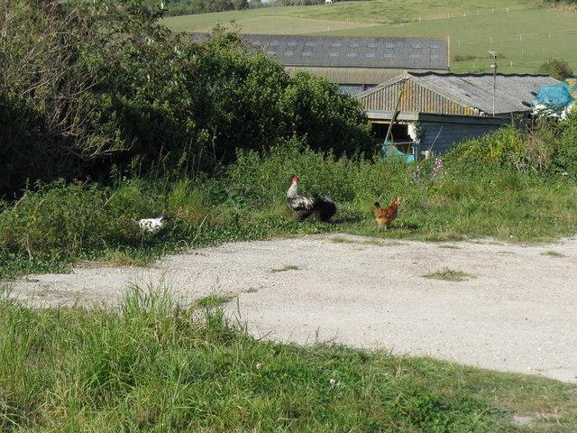 Free range chickens on ex Turkey Farm