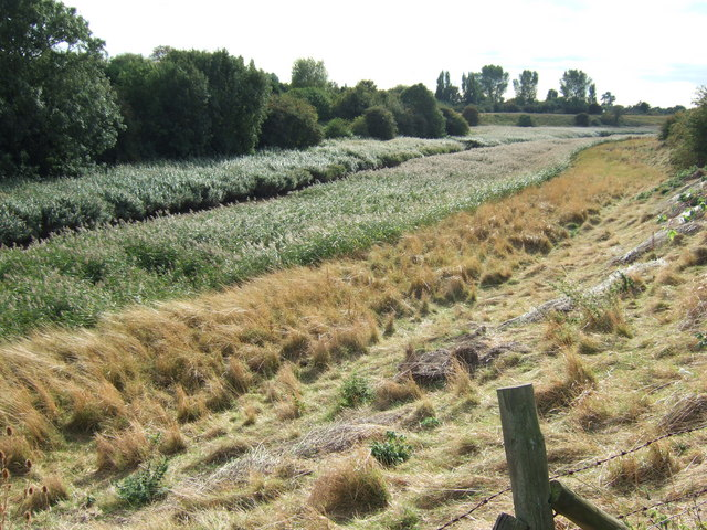 A bed of reeds near Foul Anchor