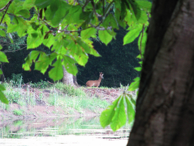 Solitary deer on far bank of pond