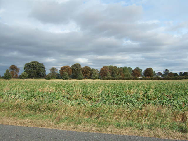 Sugar beet field on New Road, Sutton Bridge