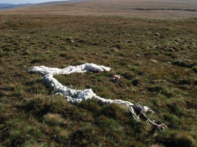 Sheep remains near Eylesbarrow