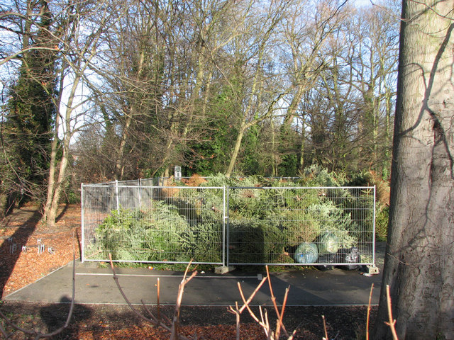 Christmas tree recycling at Cherry Hinton Park