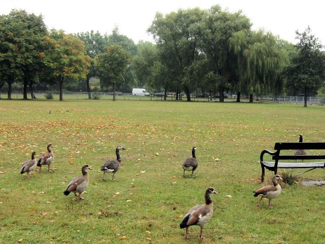 Egyptian Geese on Clapham Common