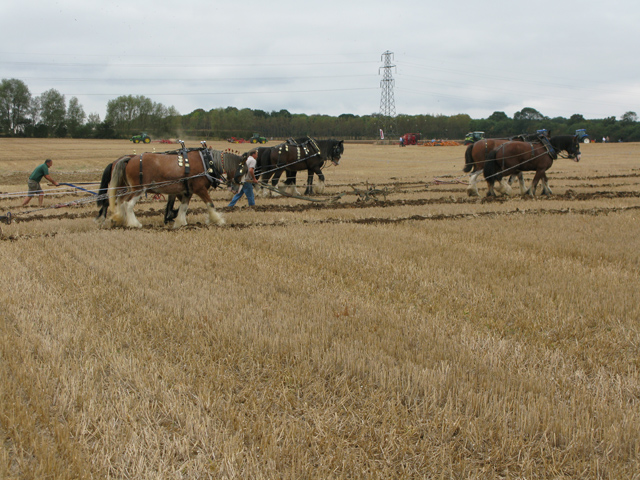 Shire horses ploughing at the East Kent Ploughing Match