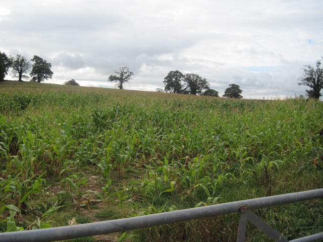 Field of Maize